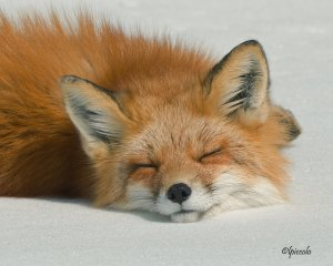 sleeping_fox_by_krankeloon-d3d8695