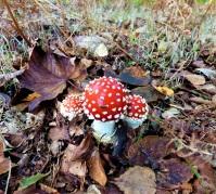 Mushroom Trio TN